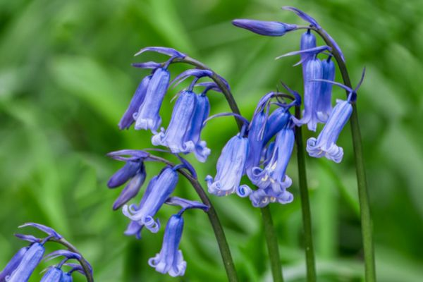 English bluebell flowers with blue-purple trumpet-shaped petals and buds on stems closeup