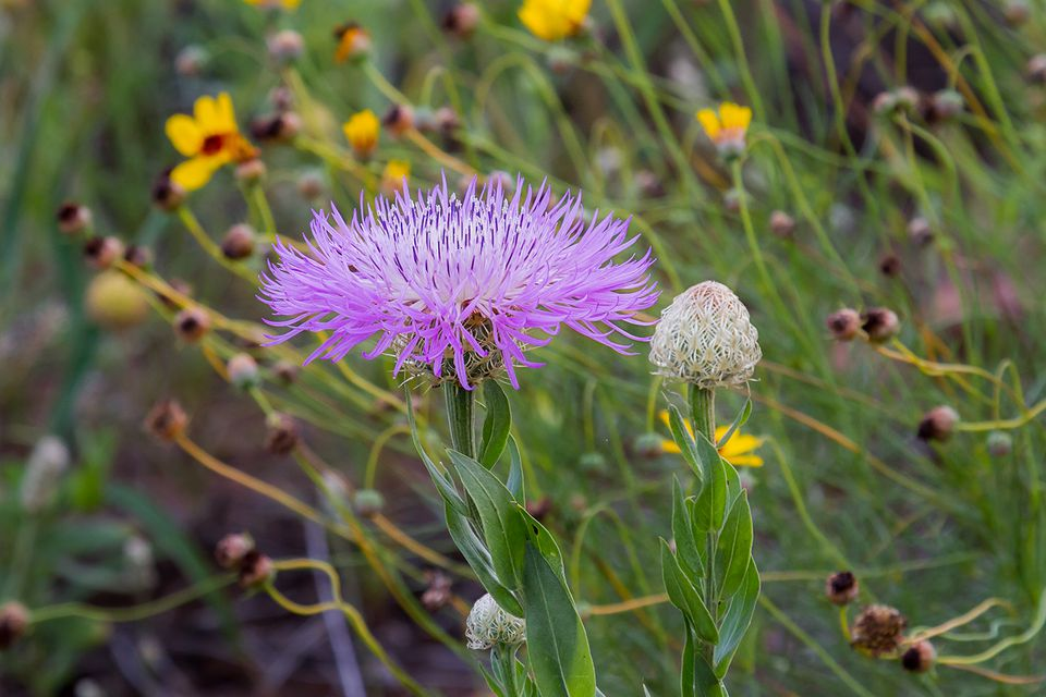 Close up of a basket flower (Centaurea Americana) purple bloom