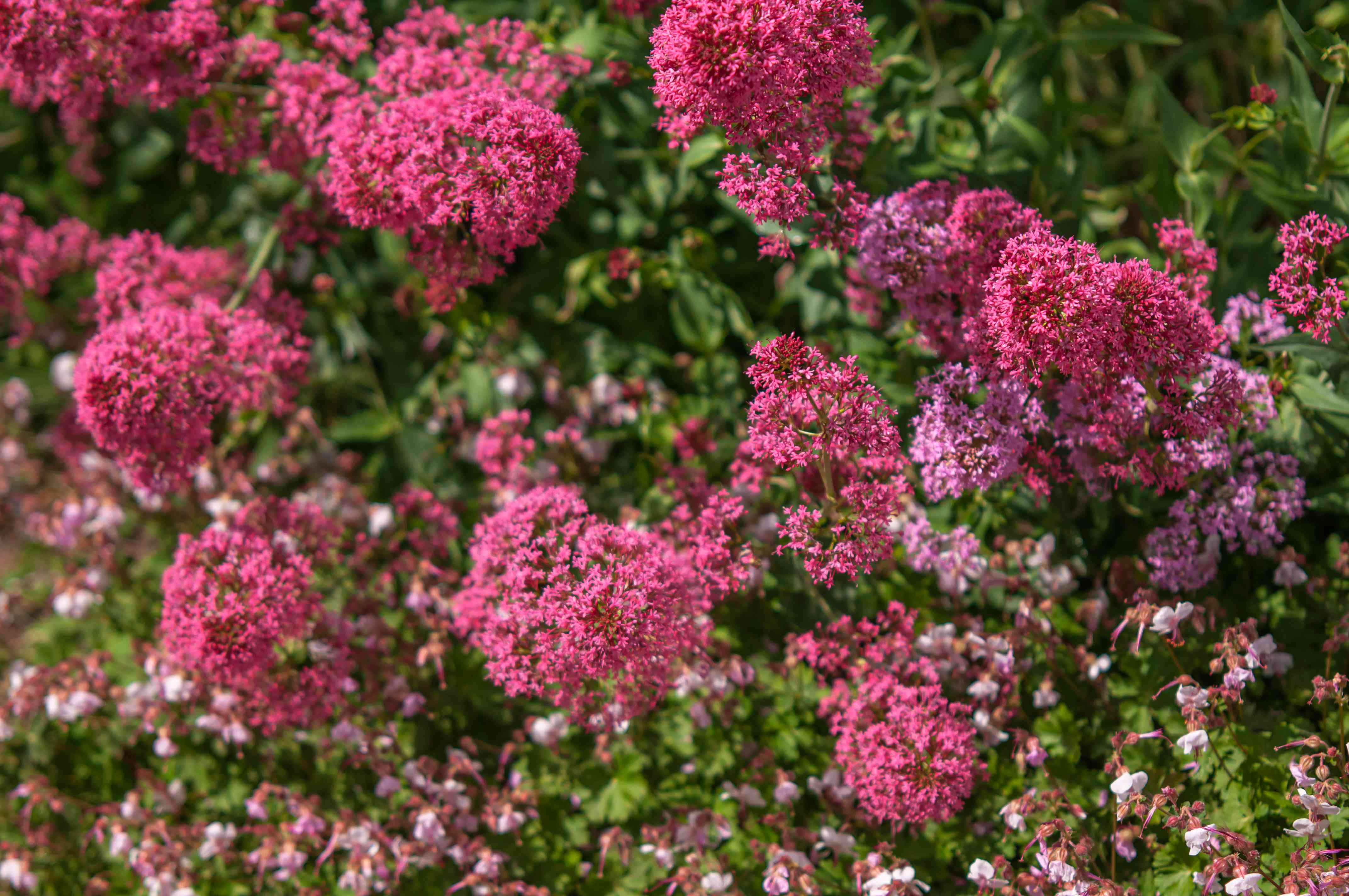 Red valerian bush with pink flowers