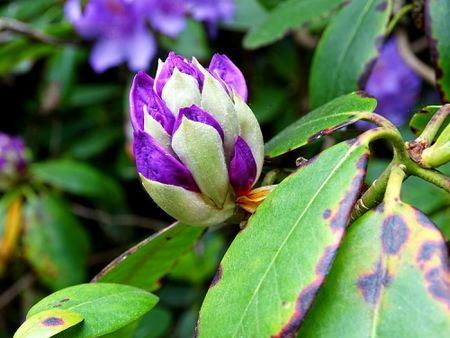 Best shrubs with purple flowers flower buds of purple rhododendron bush mightylinksfo