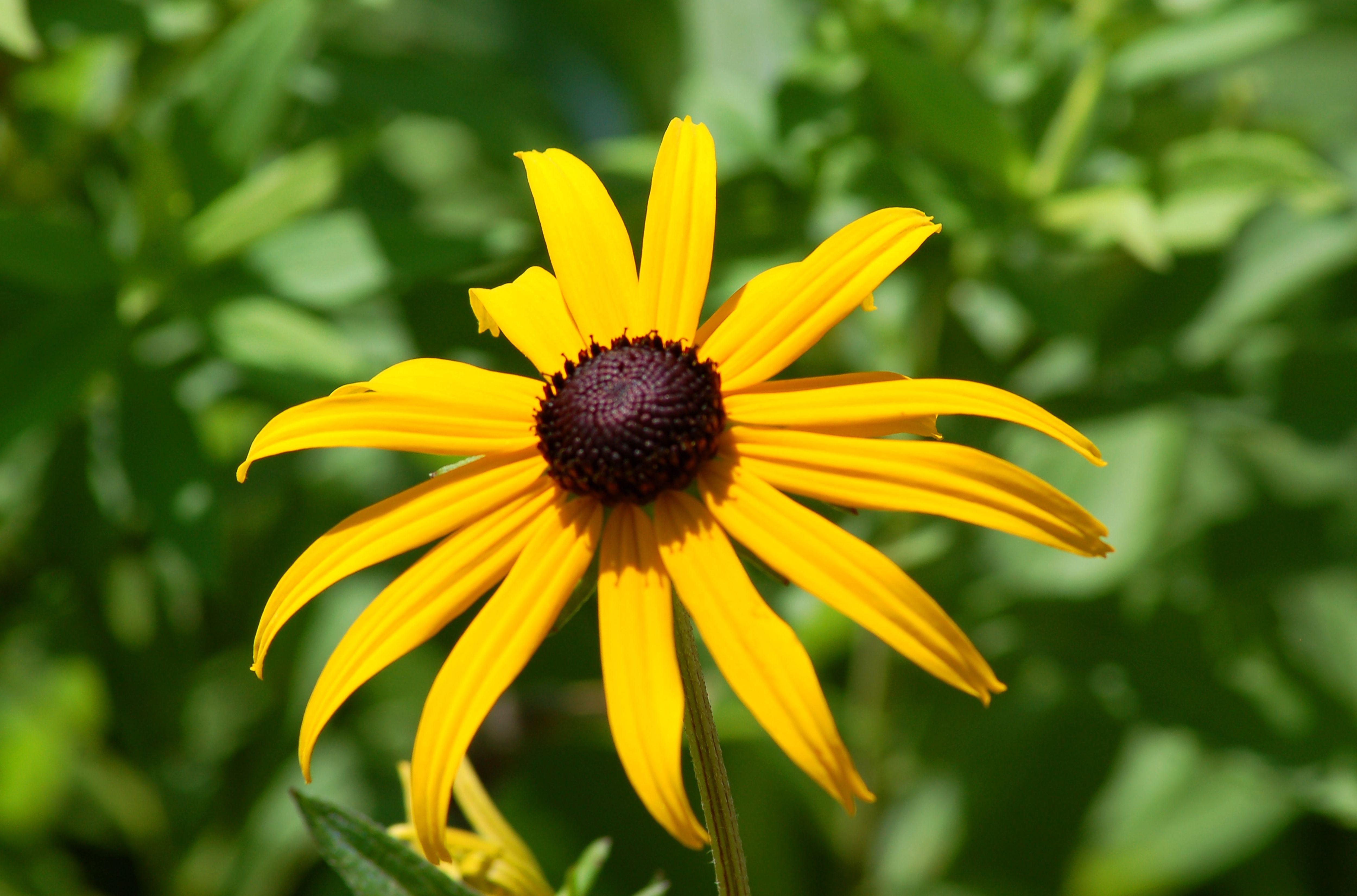 Black-eyed susan flower.
