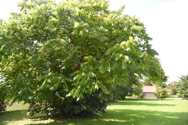 Butternut tree with broad hanging branches with ovate leaflets in lawn