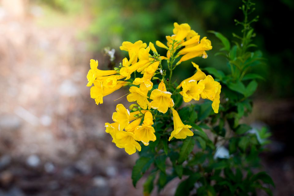 Yellow bells flower (Tecoma stans)