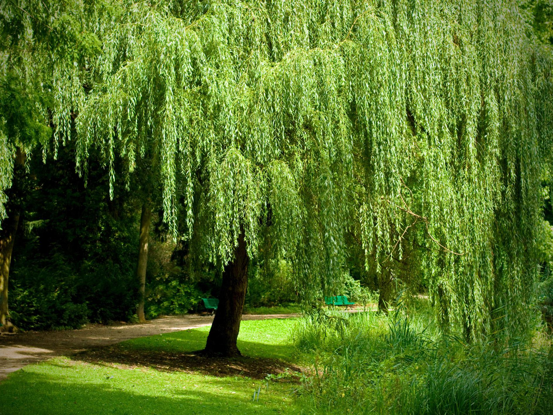 How to Grow and Care for a Weeping Willow Tree