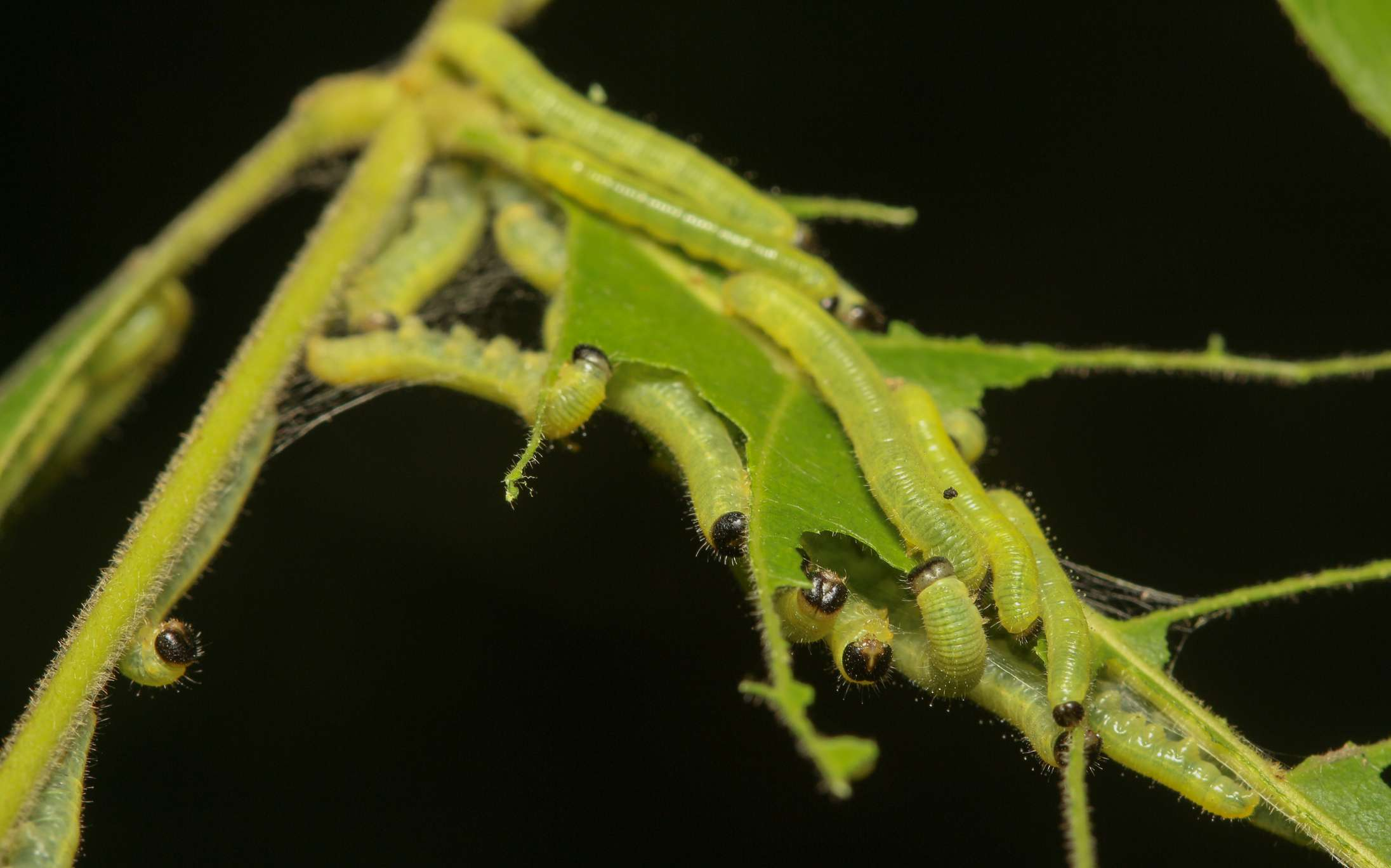Typical sawfly damage where the larvae only eat the soft parts of a leaf