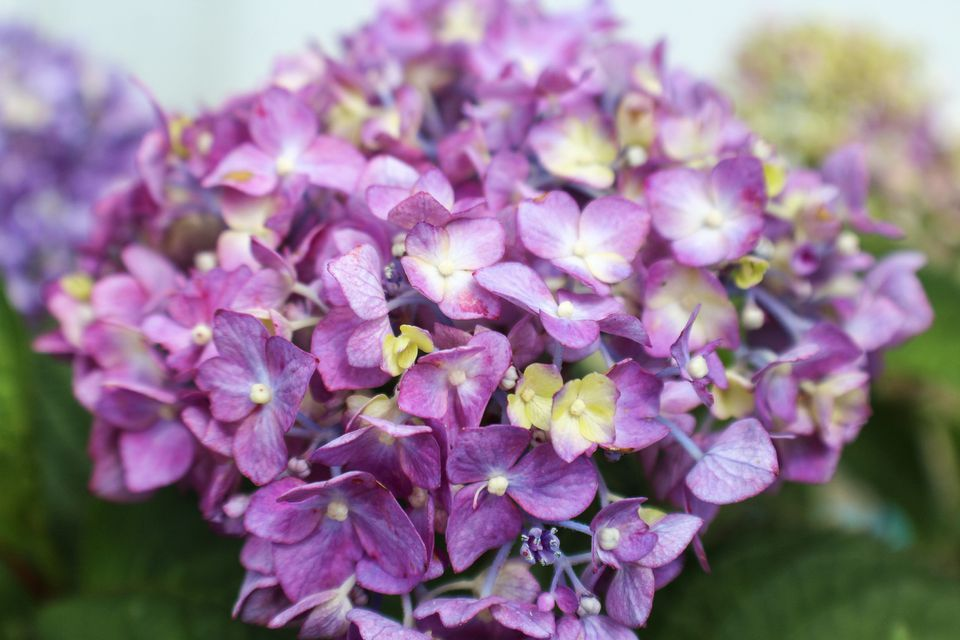 Closeup of purple blooms on Bloomstruck hydrangea plant.