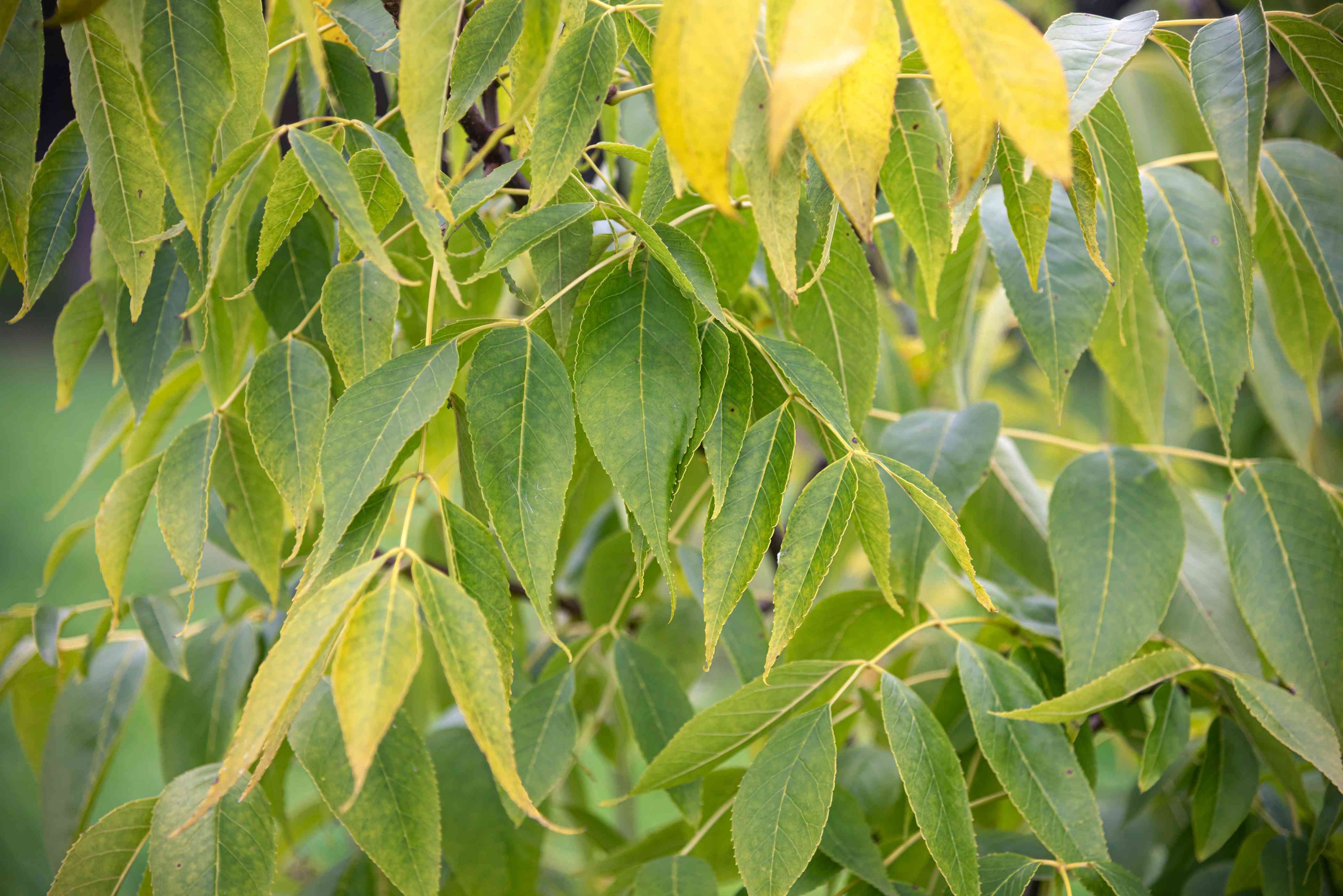 Blue ash tree with yellow and yellow-green leaves hanging from branches closeup