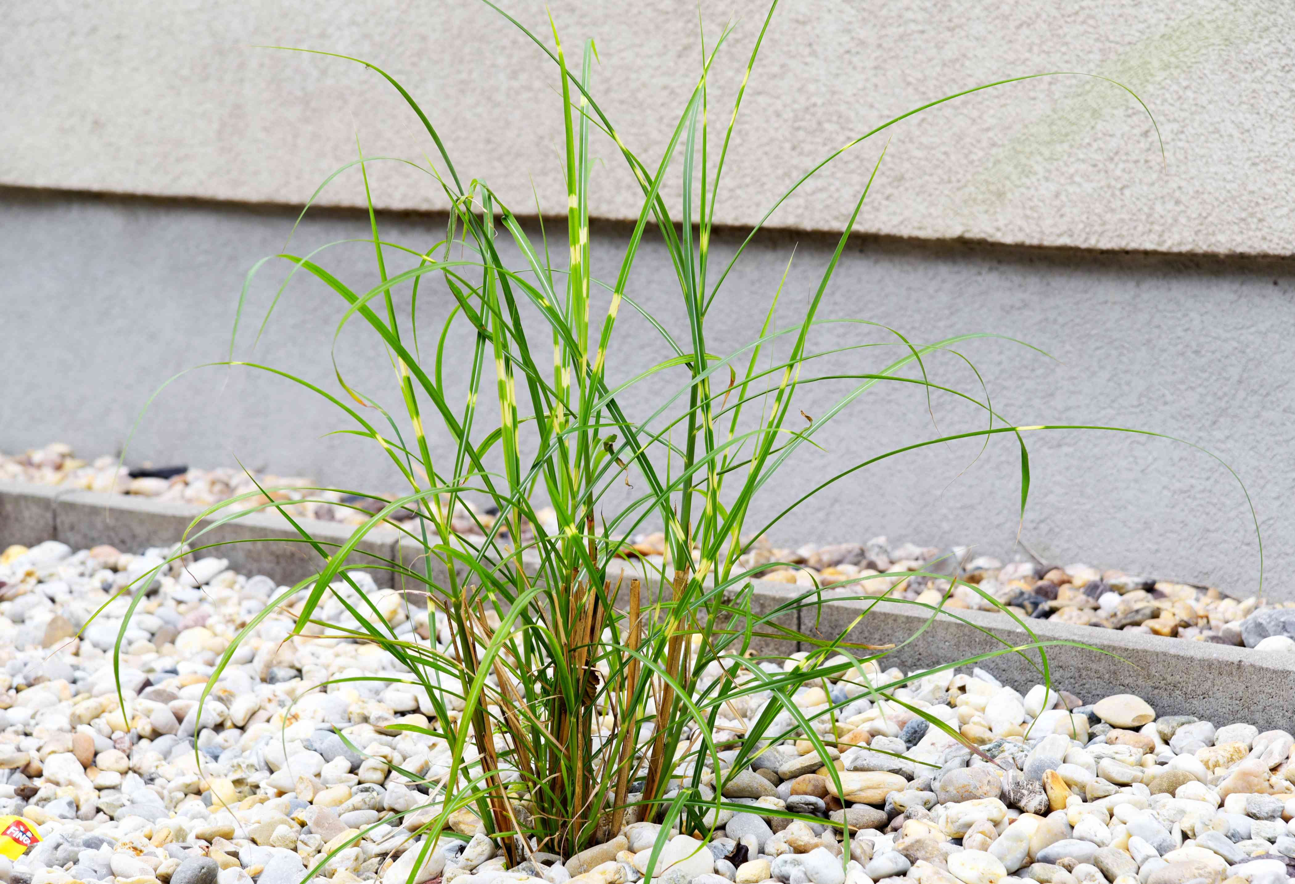 Zebra grass plant surrounded by small rocks with thin variegated green and gold leaf blades
