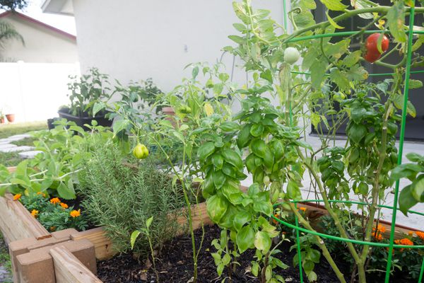 Victory garden with tomatoes and ornamental peppers hanging next to herbs and orange flowers