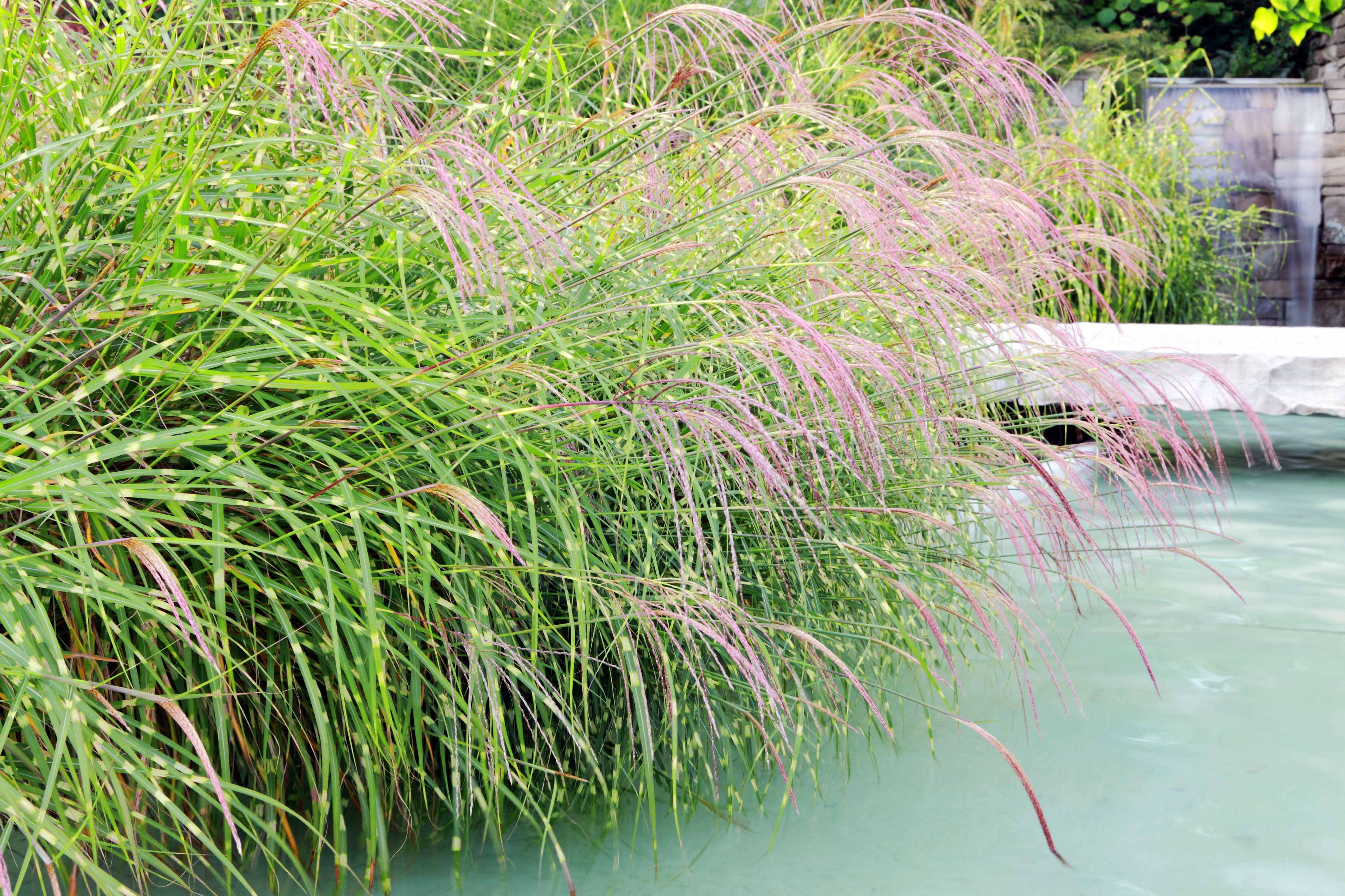 Hierba de cebra cerca de la piscina