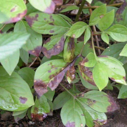 Moho de botritis de peonía en las plantas