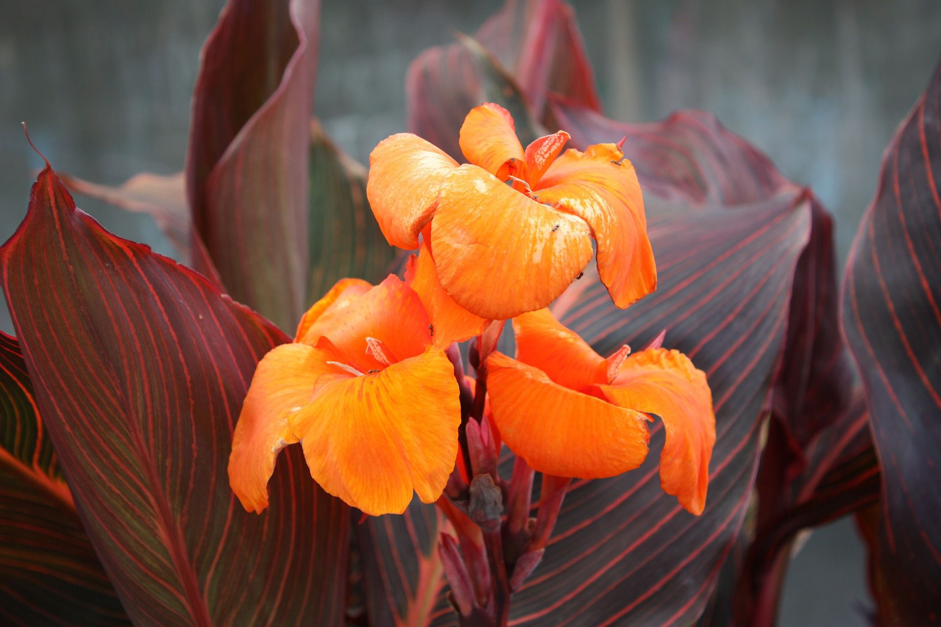Canna Plant Care And Growing Guide
