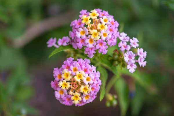 Lantana plant with tiny yellow and pink flowers clustered together closeup
