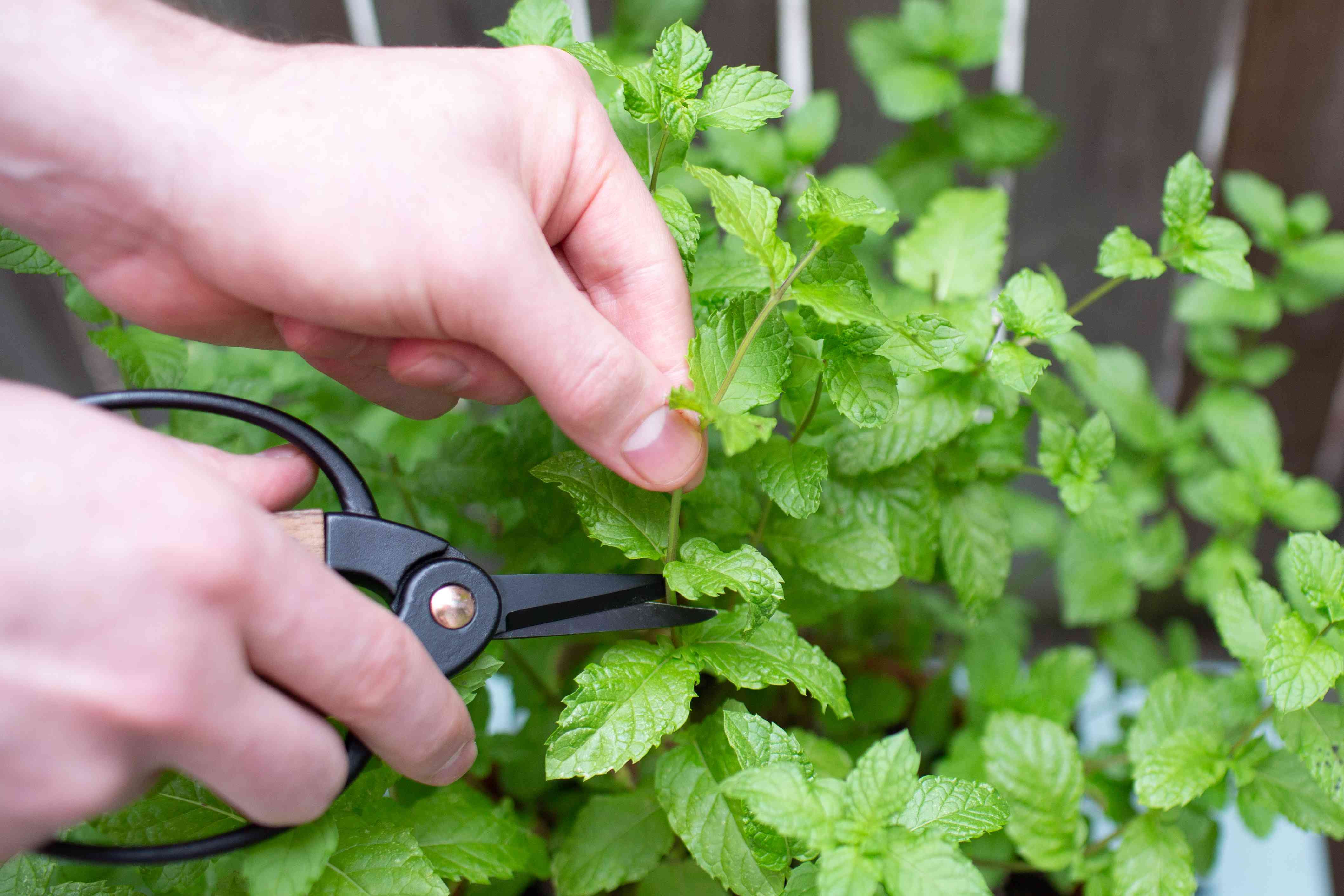 person pruning mint