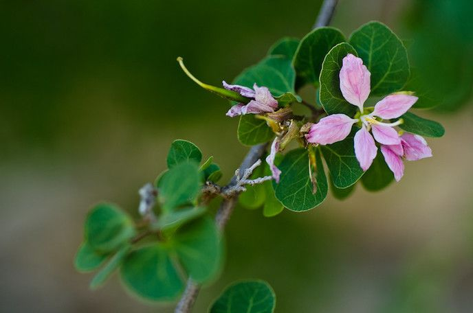 Pink flowers and bi-lobed green leaves in close up.