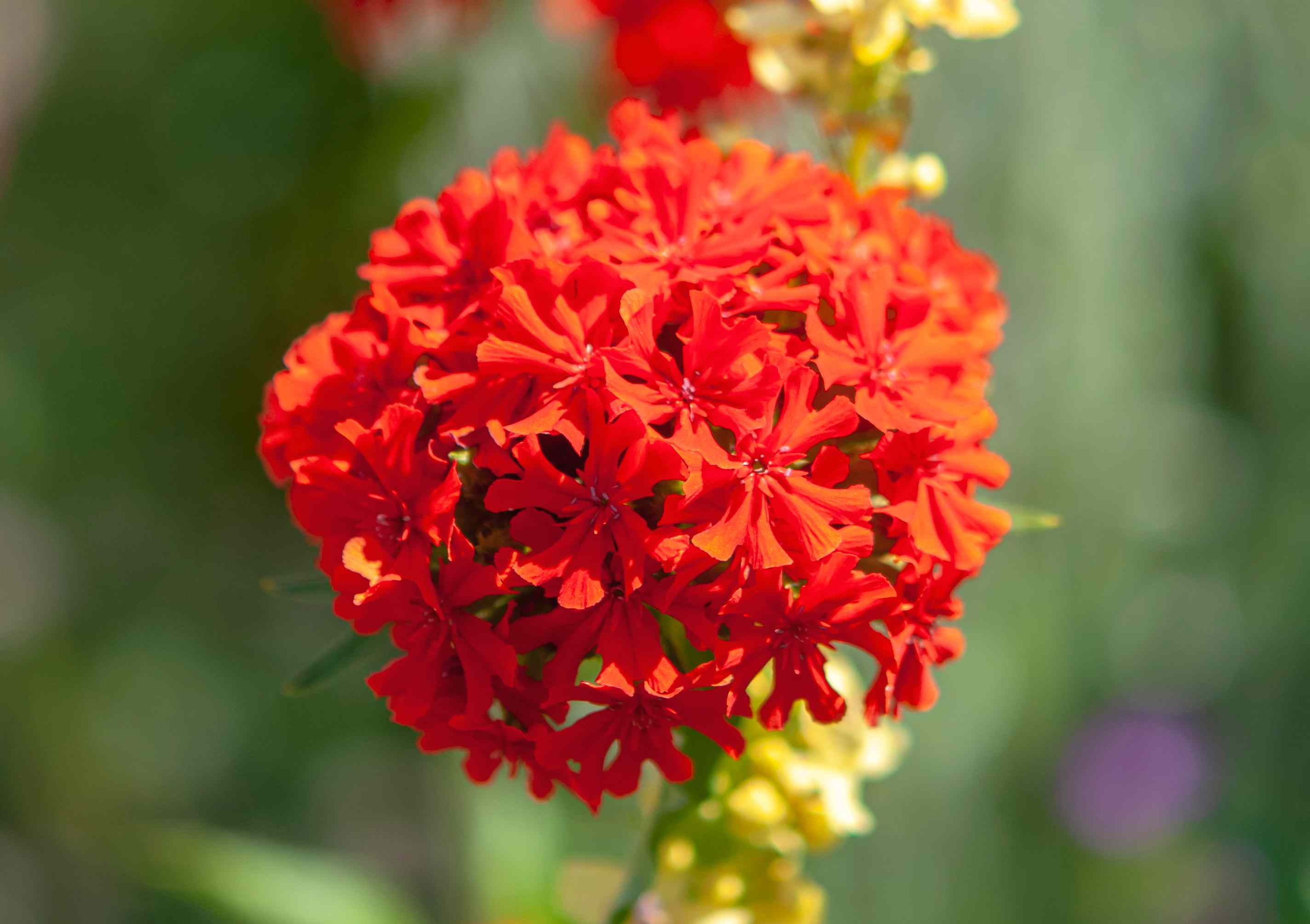 Maltese cross with bright red flower clusters closeup