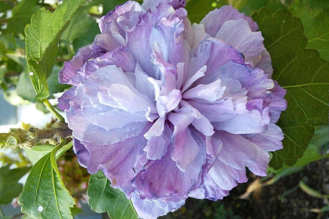 Blueberry Smoothie Hibiscus closeup