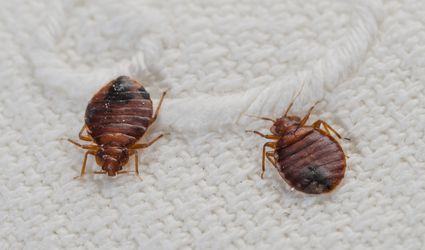 Two bedbugs on a bed sheet.