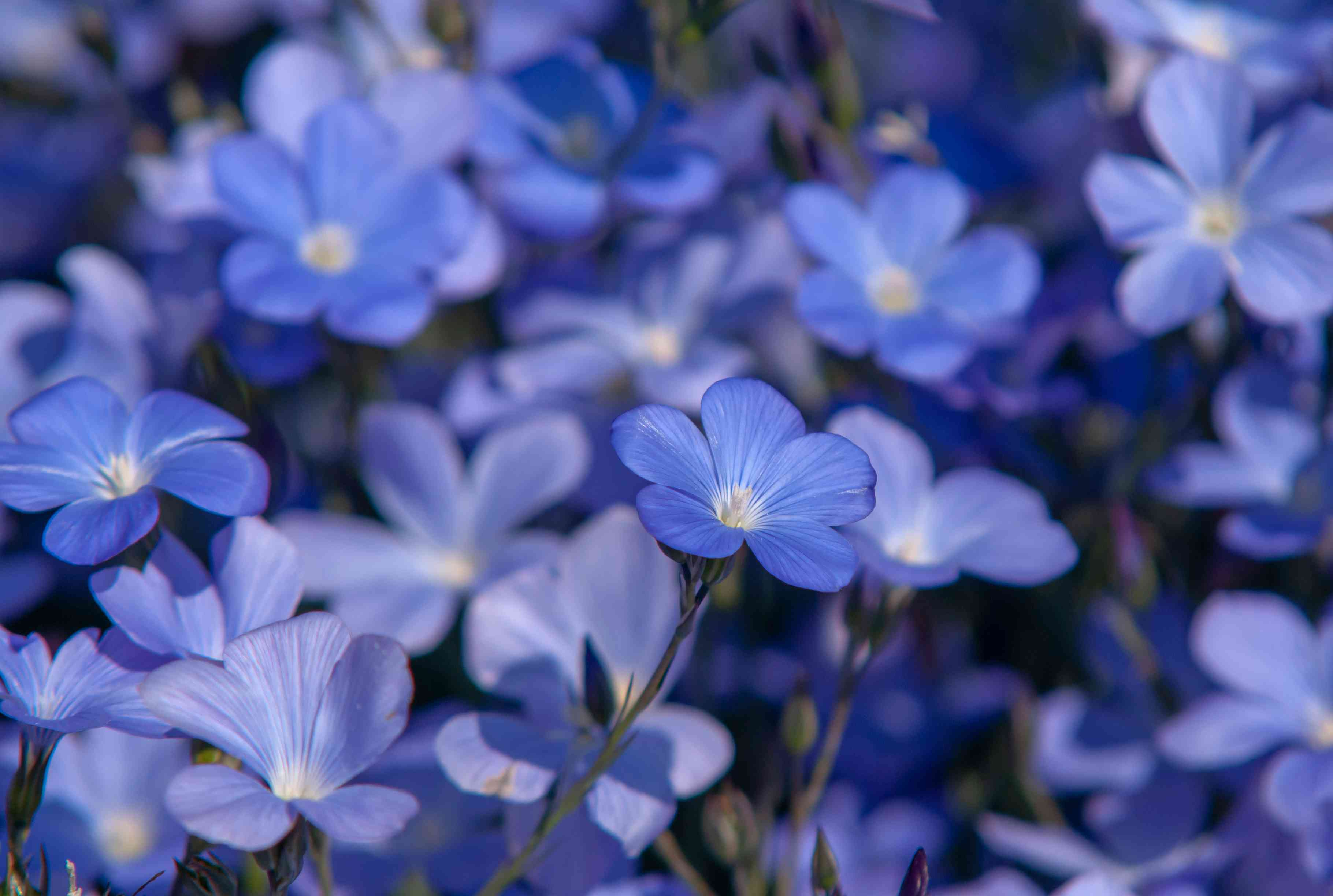 Flax plant blue flowers in a cluster closeup