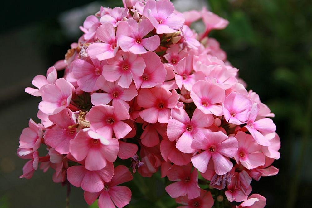 Pink Flame Phlox