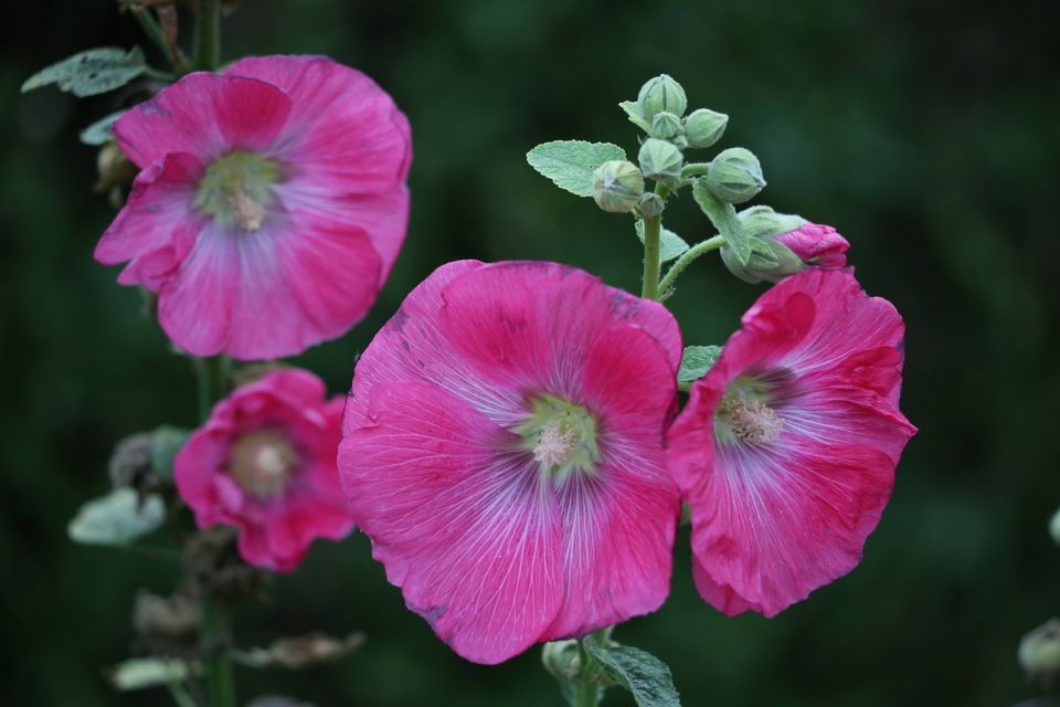Close up of the pink flowers of a Hollyhock Mallow
