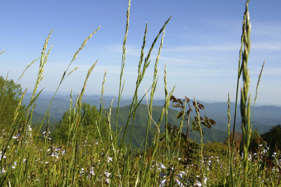 North Carolina, Ashe County, The Blue Ridge Mountains are alive with rye grass and wildflowers this spring.