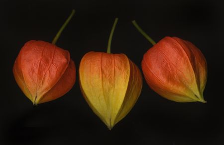 how and whether to grow invasive chinese lantern plants