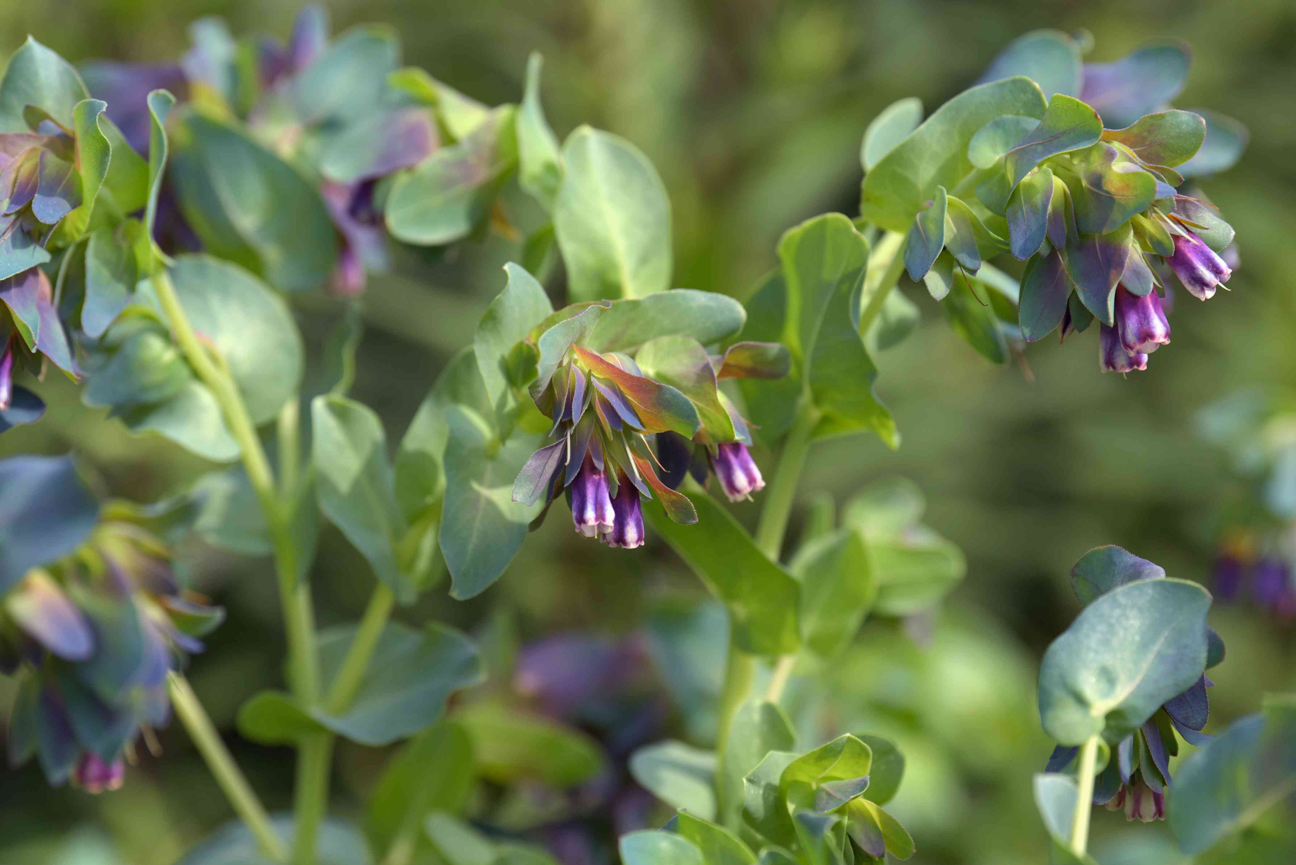 Honeywort plant with blue-gray rounded leaves surrounding purple bell-shaped flowers on stems