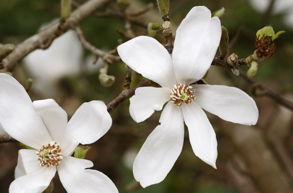 Close up of Magnolia tree in bloom (Magnolia kobus)