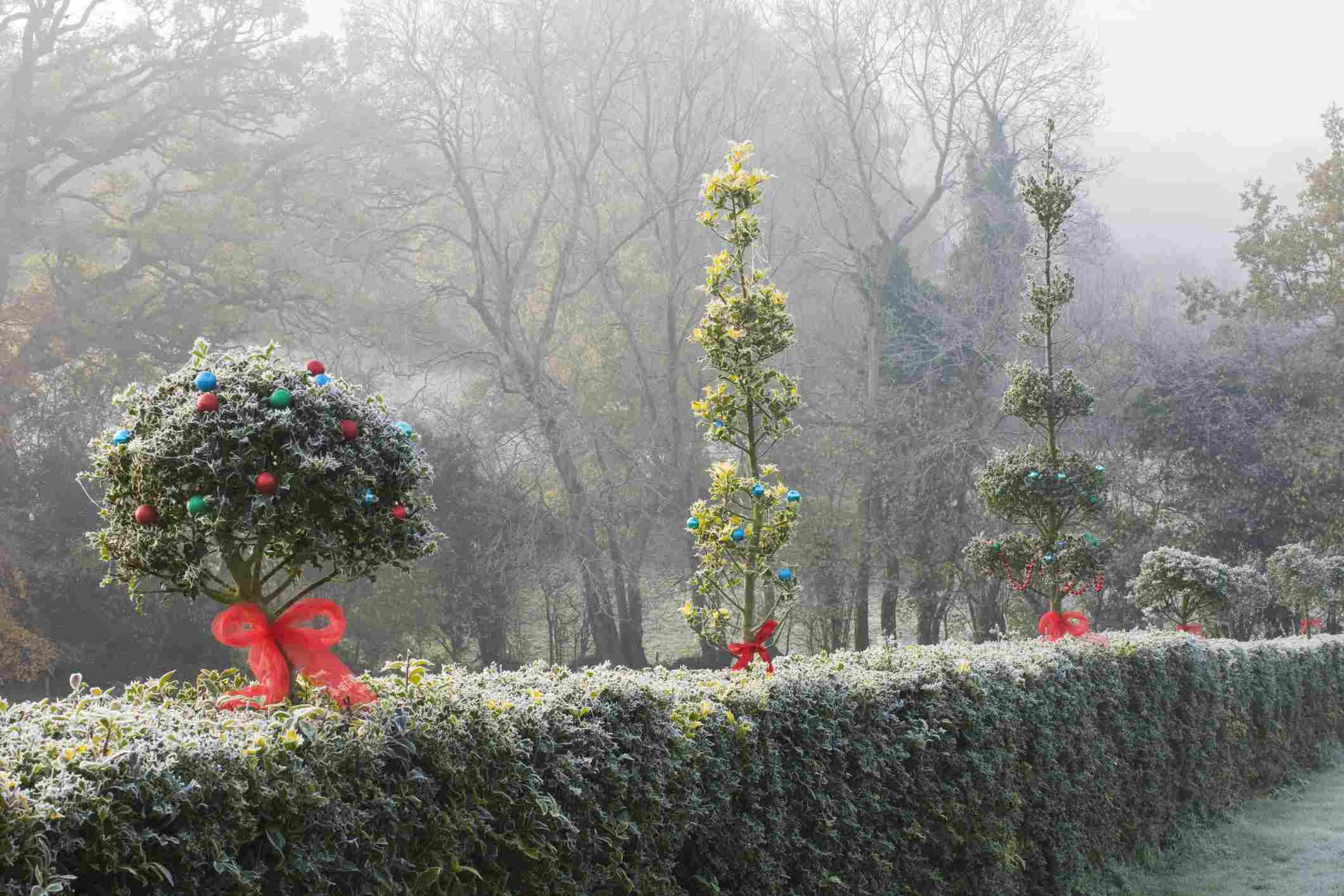 Hedge covered in frost, with other plants decorated for Christmas.
