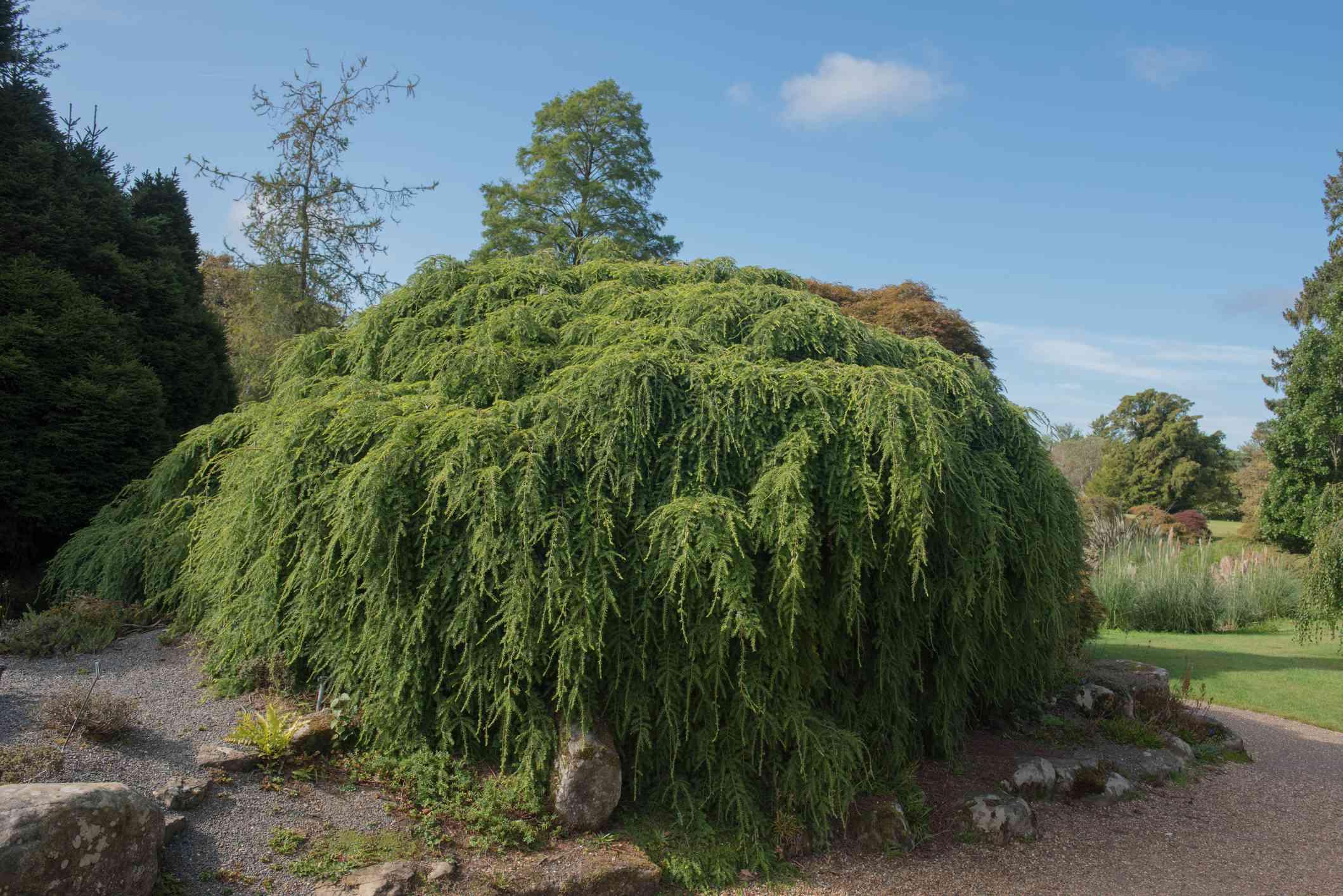 Green Foliage of the Evergreen Coniferous Weeping Eastern Hemlock Shrub (Tsuga canadensis 'Pendula') in a Park