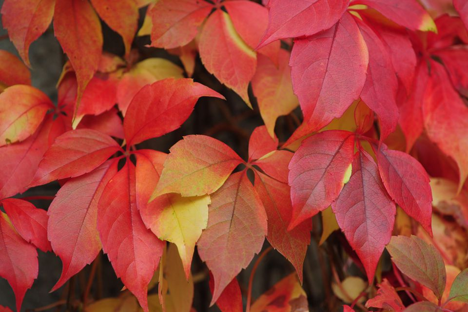 Virginia creeper vine with red and yellow leaves closeup