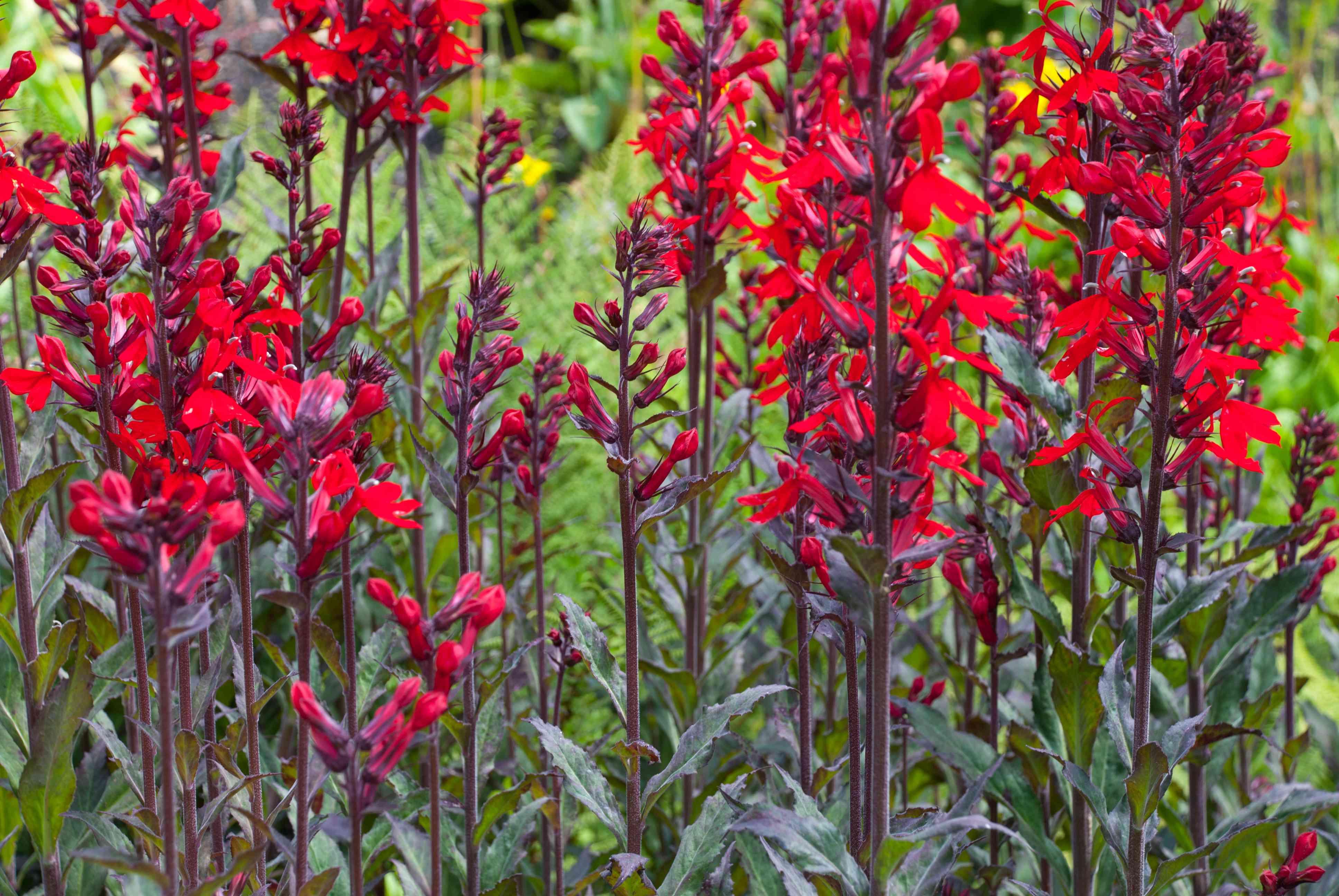 Flores de la reina Victoria de Lobelia Fulgens