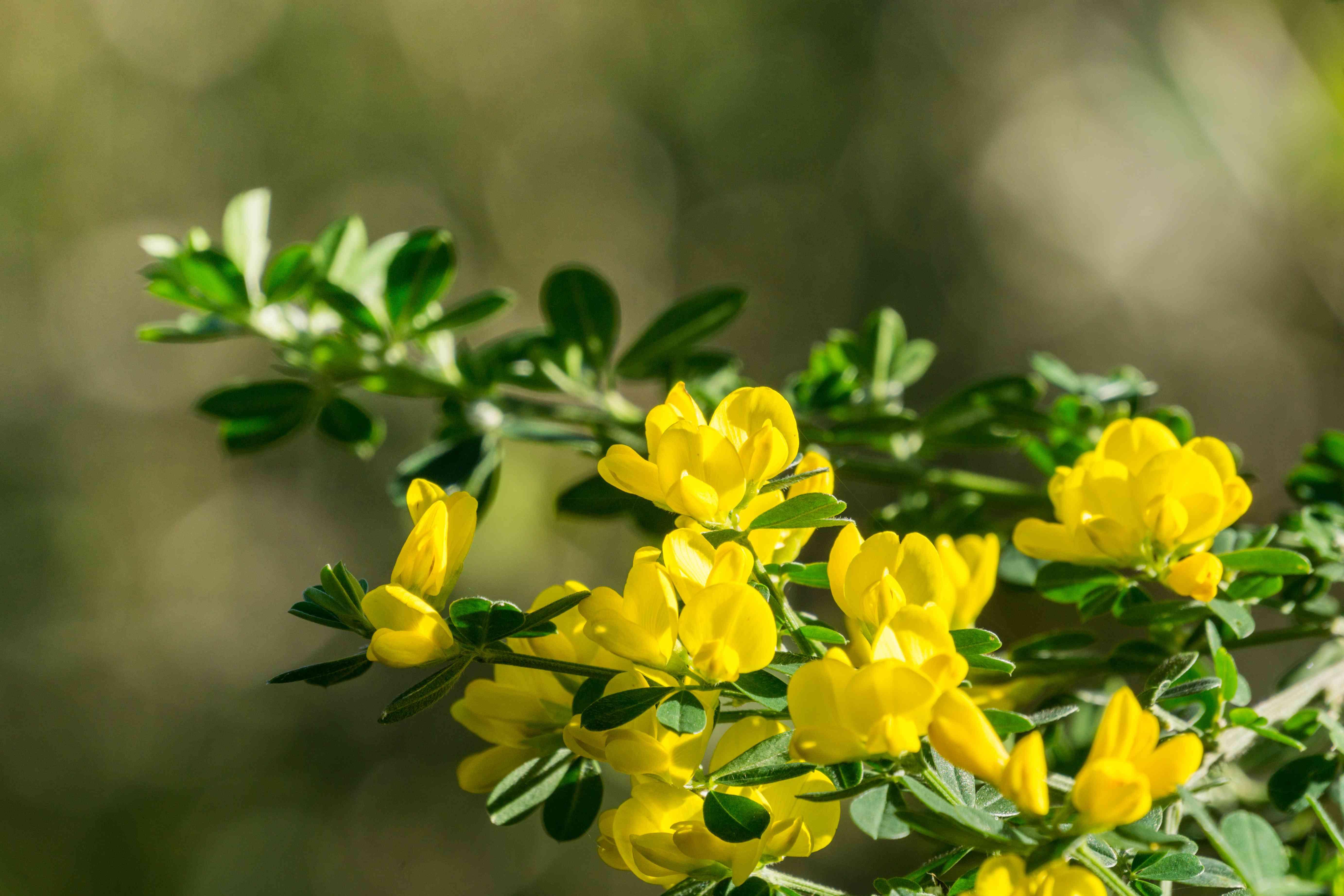 Scotch Broom; English Broom; Common Broom (Cytisus scoparius, Sarothamnus scoparius) blooming