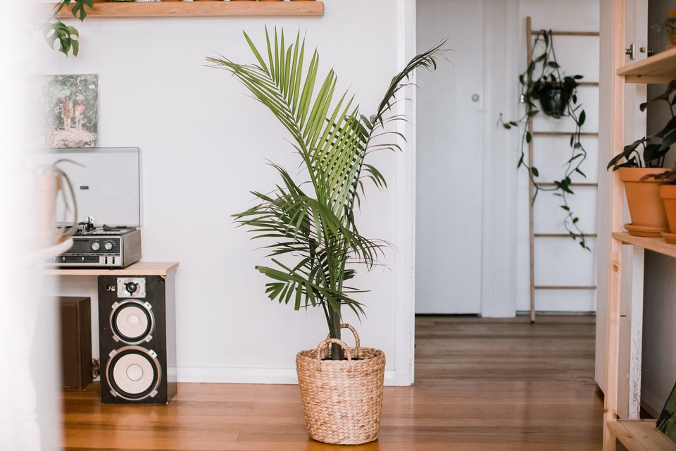 majesty palm in an apartment