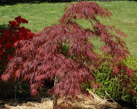 Crimson Queen Japanese Maple Tree Care And Growing Guide