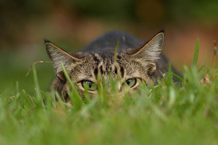 Hunting Cat - Easily Keep Backyard Birds Safe From Cats