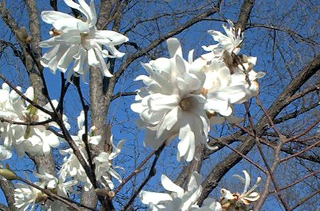 Guide To Star Magnolia Trees