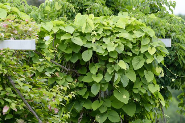 Dutchman's pipe vines with large heart-shaped leaves on metal trellis