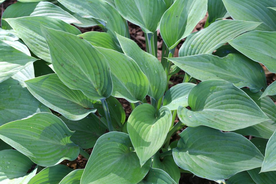a young halcyon hosta plant
