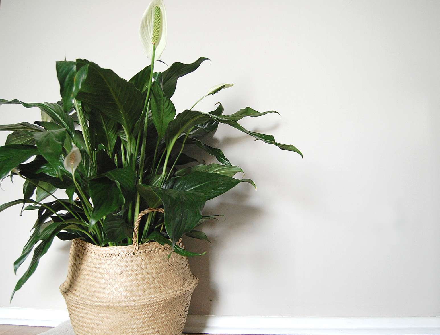 A Peace Lily sits in front of a blank wall