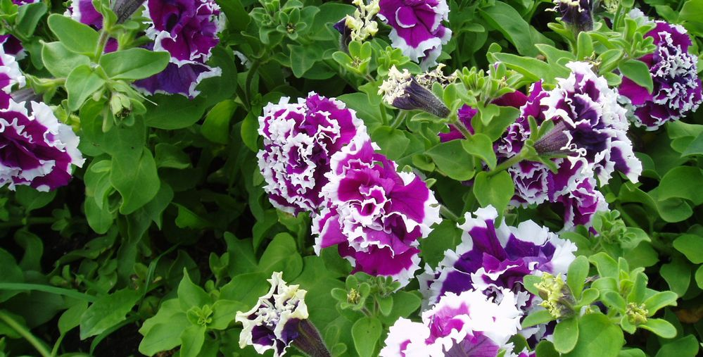 'Purple Pirouette' petunia with frilly petals in purple and white