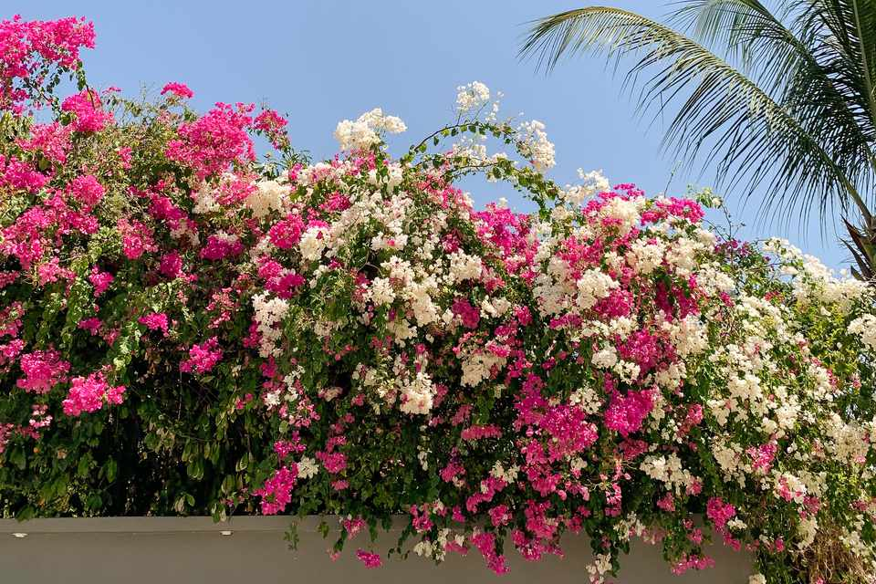 bougainvillea on a fence