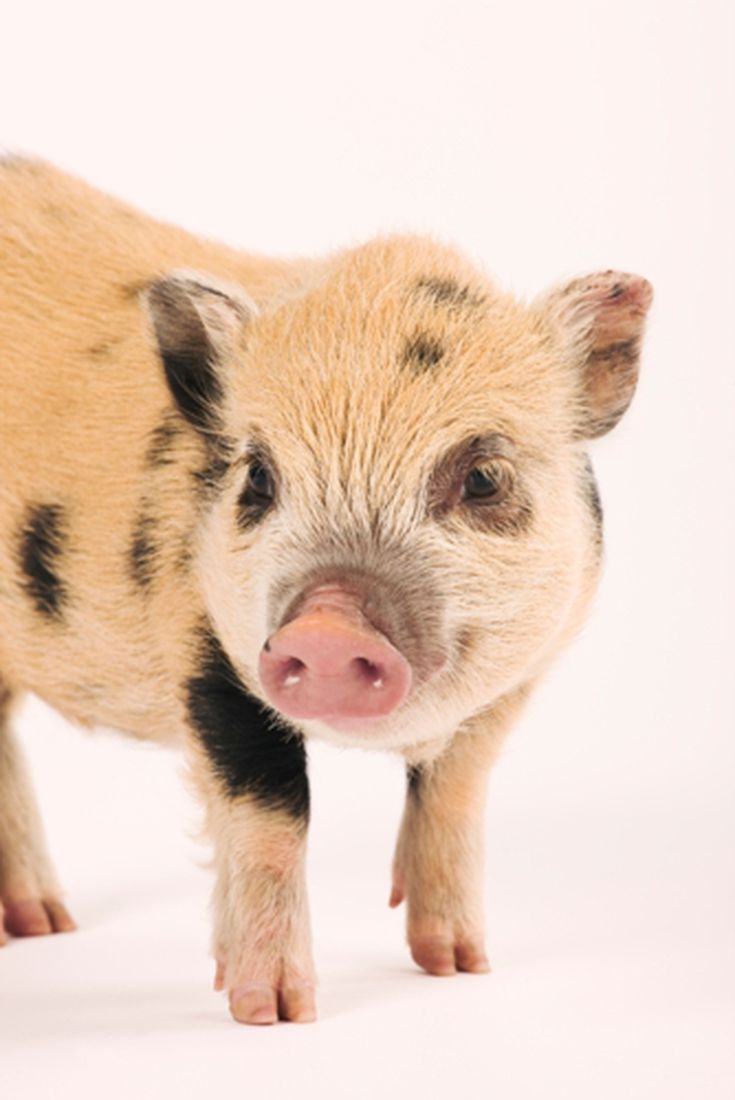 Treating Dry Skin On Pot Bellied Pigs