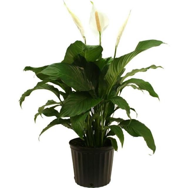 Spathiphyllum in Grower Pot