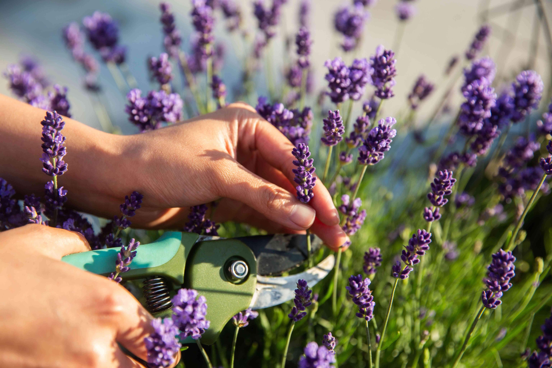 harvesting English lavender