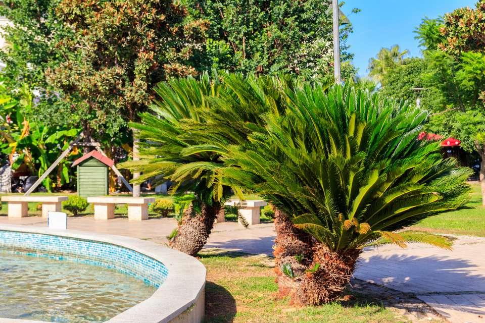 Robellini palms (Phoenix roebelenii) planted in a city park in Turkey.