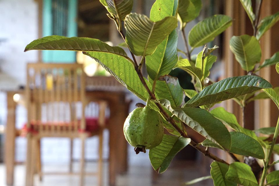 Guava plant with fruit hanging on branches near a dining table