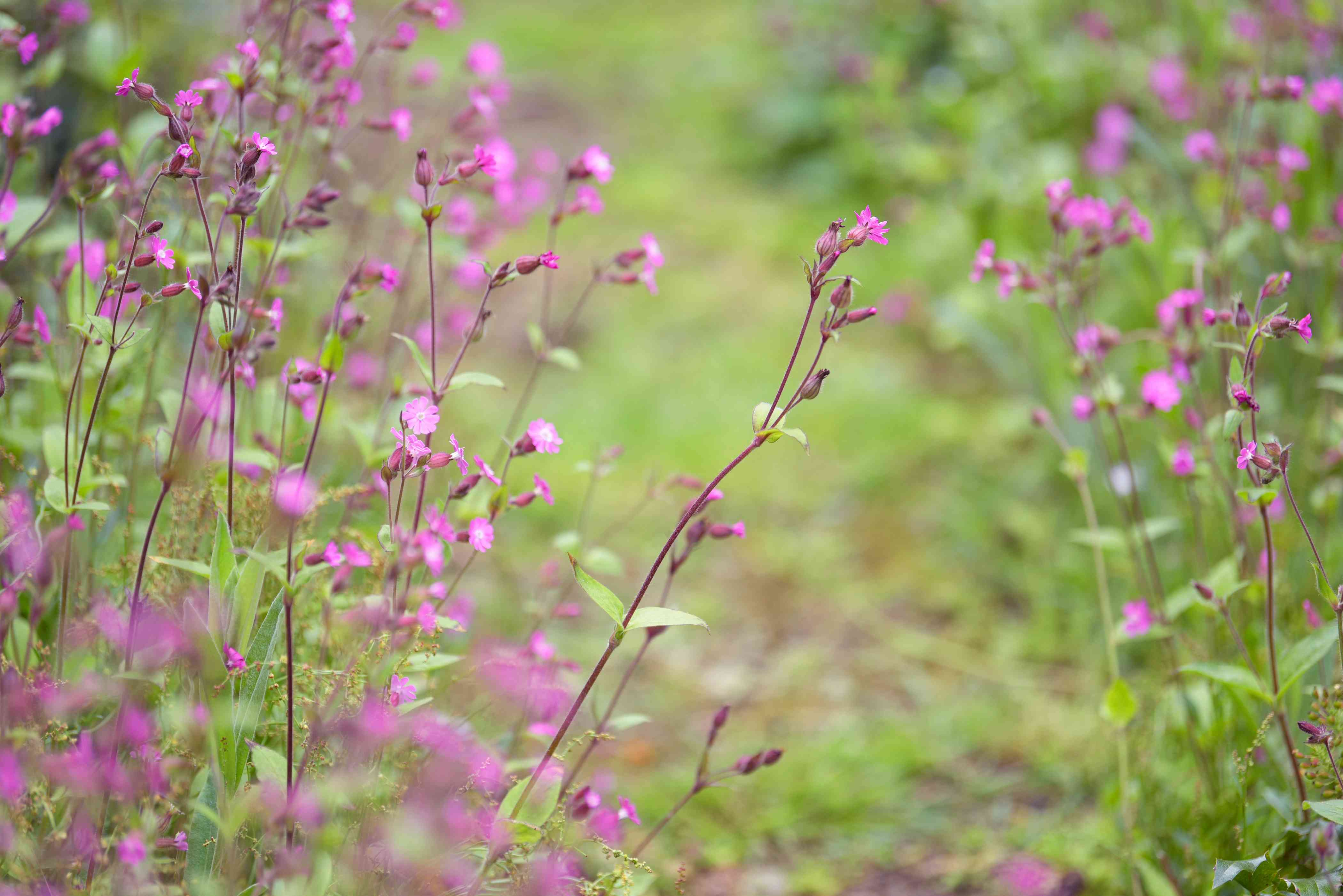 Red campion plant with small pink flowers and buds on thin dark red stem in garden