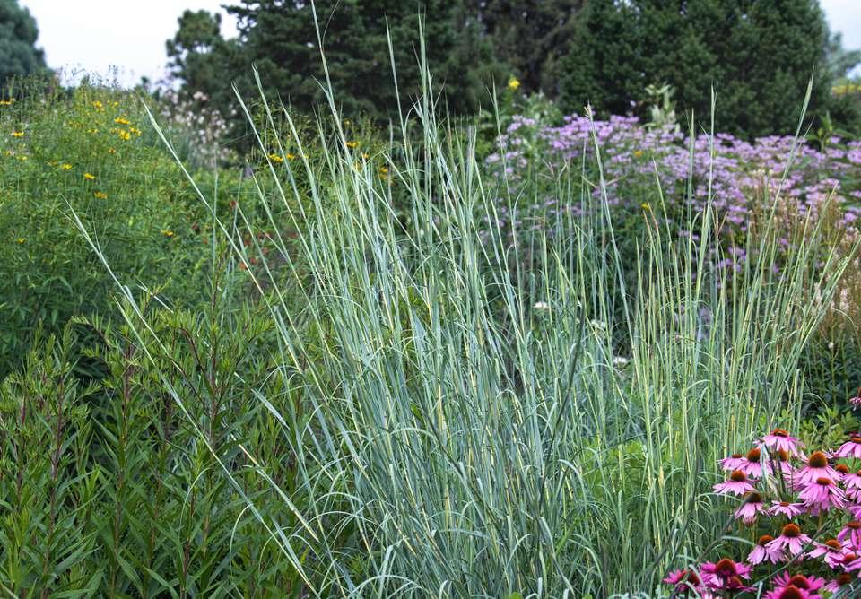 Big bluestem grass with blue-green rhizome stems in flower garden